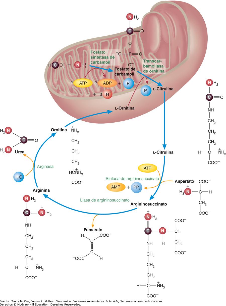 ciclo de la urea pdf
