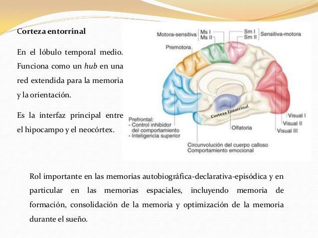 consolidacion de la memoria durante el sueño pdf