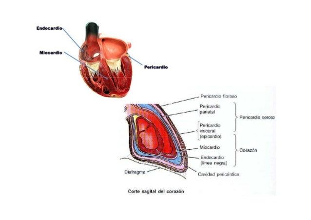 anatomia de corazon ct pdf