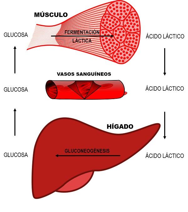 ciclo del lactato o de cori pdf