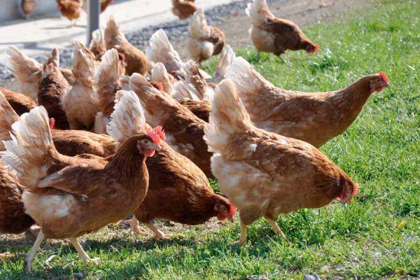 alimentacion de gallinas de postura chile pdf