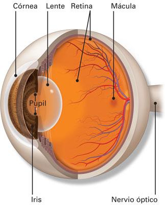 anatomia del nervio optico pdf