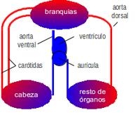 branquias estructura y funcionamineto pdf