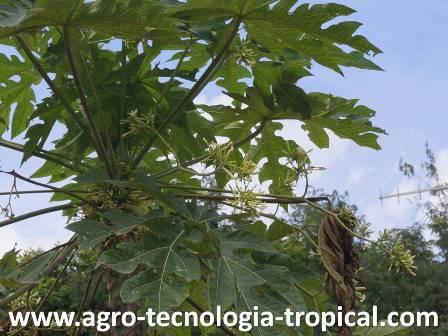 condiciones para que una planta sea hembra