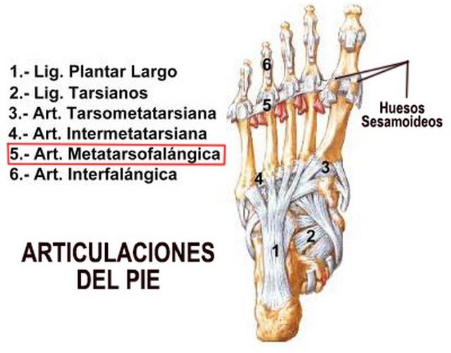 anatomia del pie pdf hallux